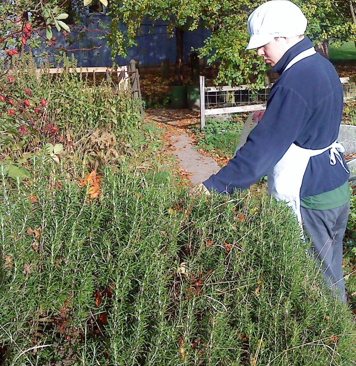 Picking fresh rosemary leaves.