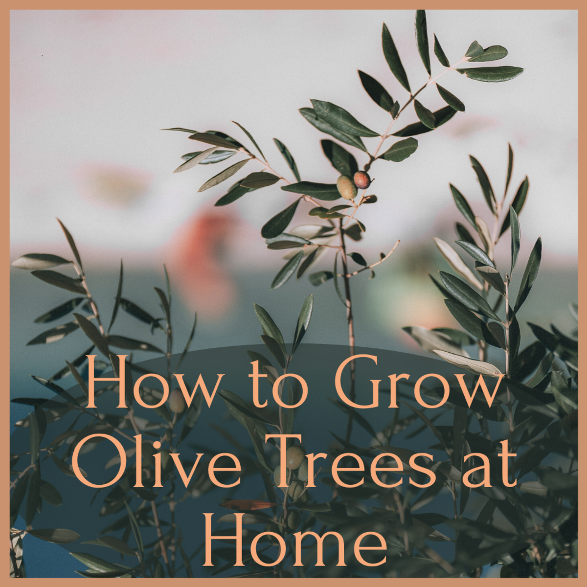 Growing Olive Trees in Containers