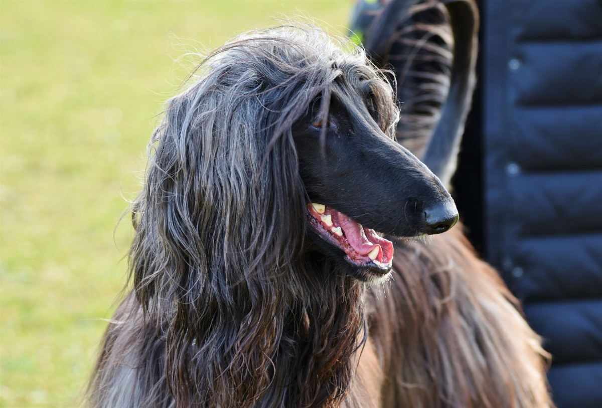 A black haired Afghan hound enjoying some time outside.
