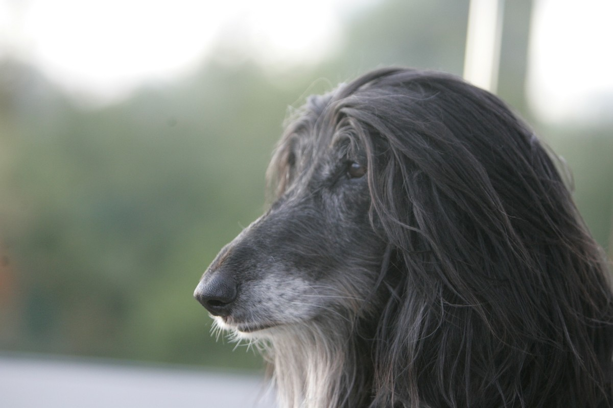 A black haired Afghan hound with a cream colored beard. Personally, I think he looks like an adorable fuzzy grandpa.