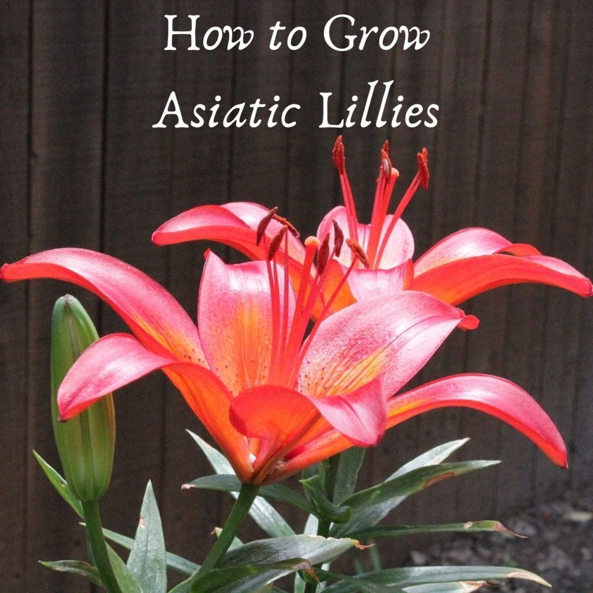 Asiatic lilies are some of the most beautiful flowers you can grow.