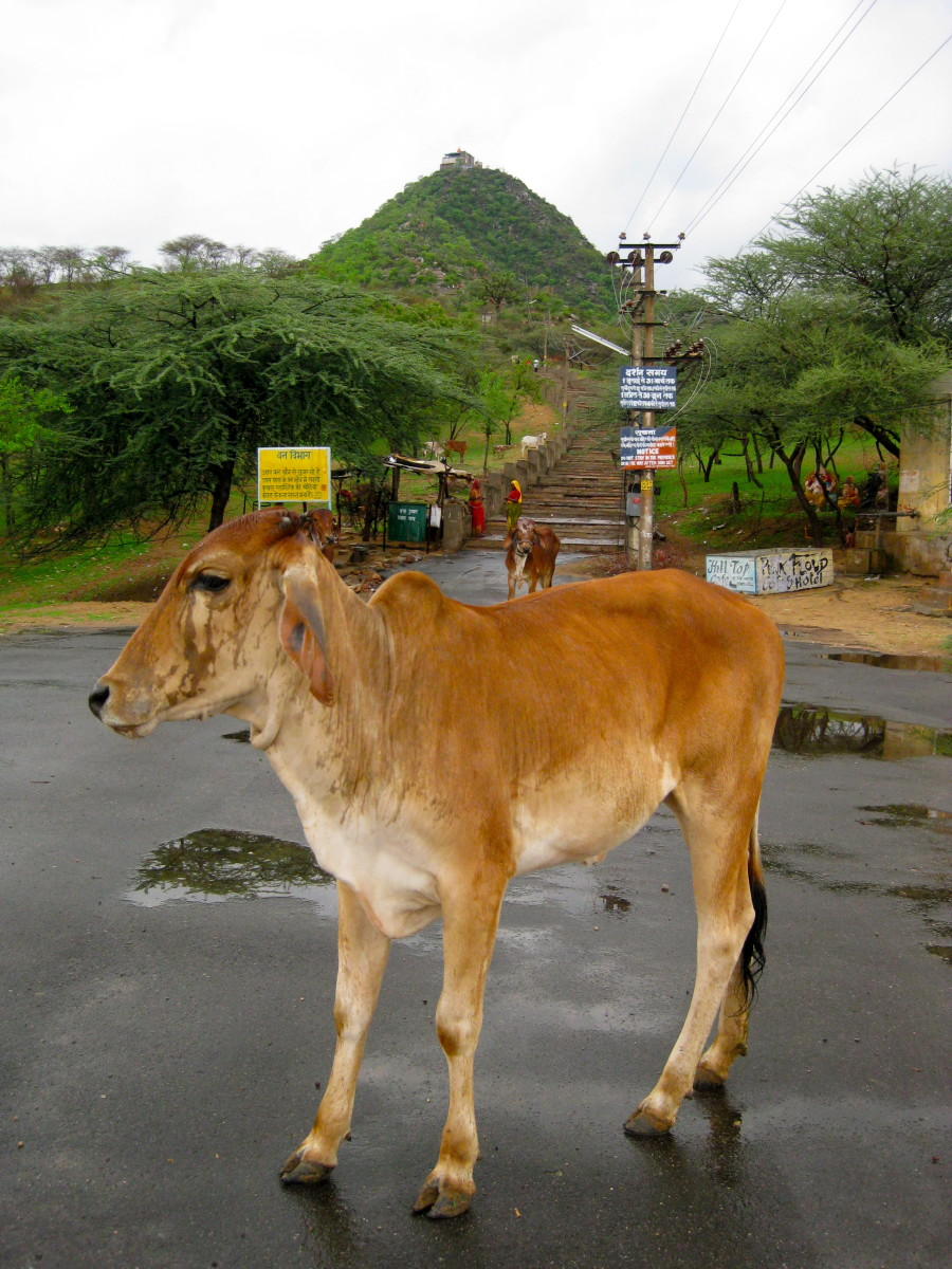 Savitri Temple can be seen from far... and cows roam the foot of the hill