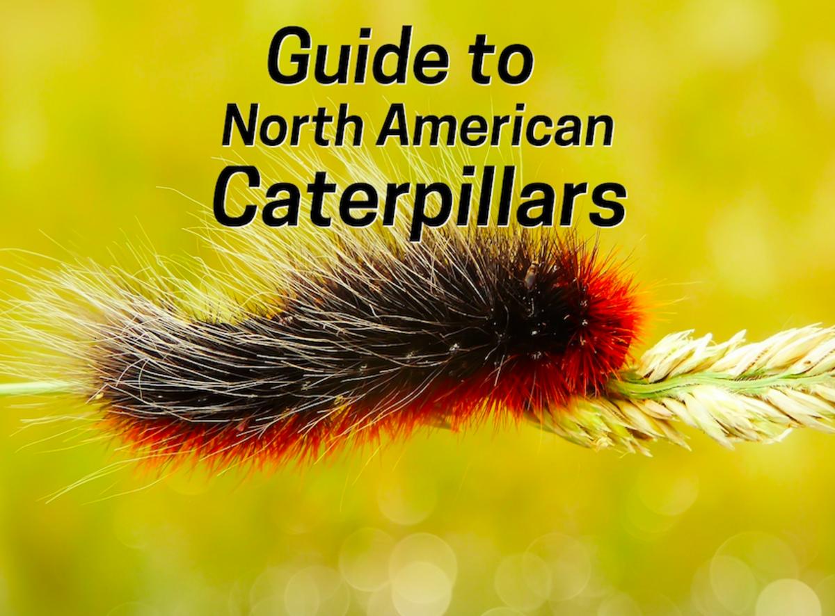 The caterpillar of the beautiful garden tiger moth