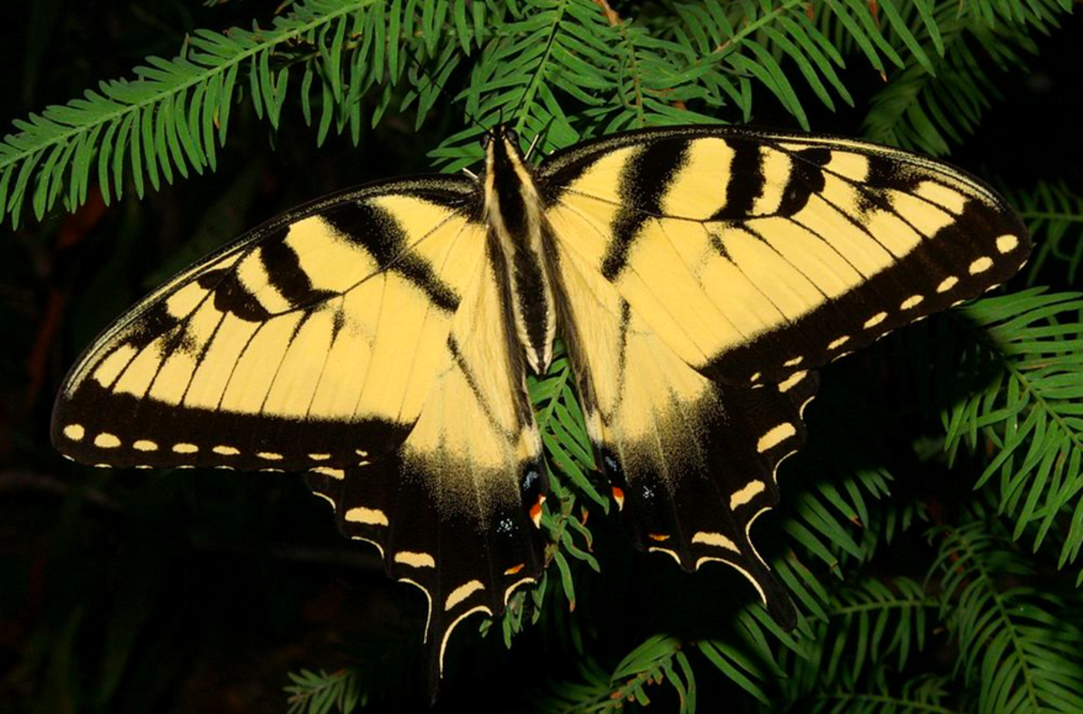The gorgeous tiger swallowtail butterfly
