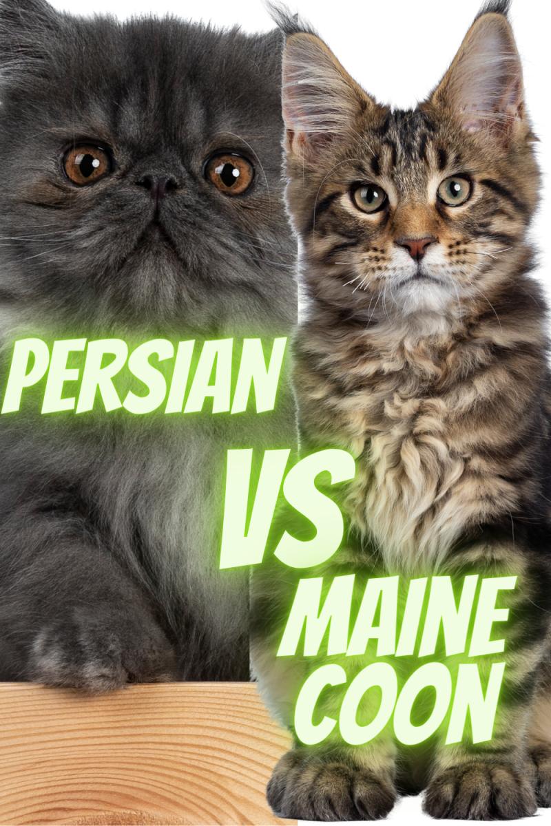Persian  cat versus Maine coon cat