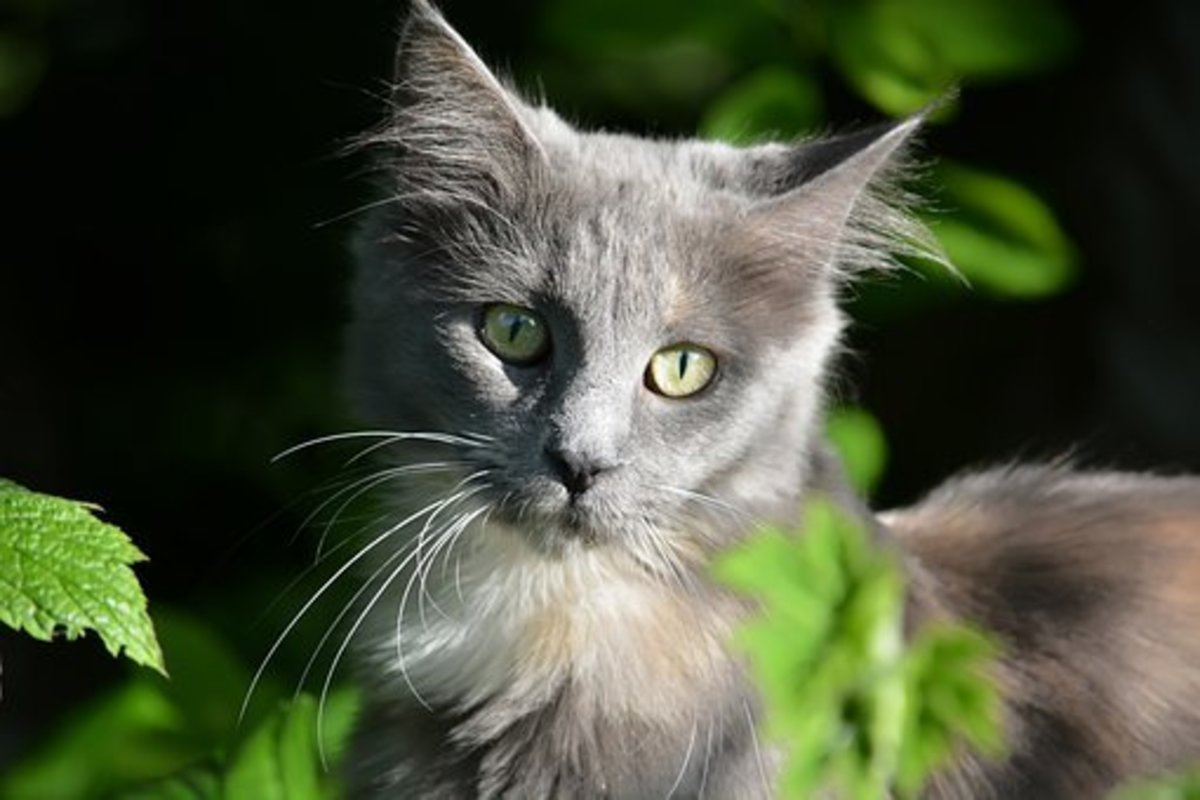 Eye colors of Maine coon