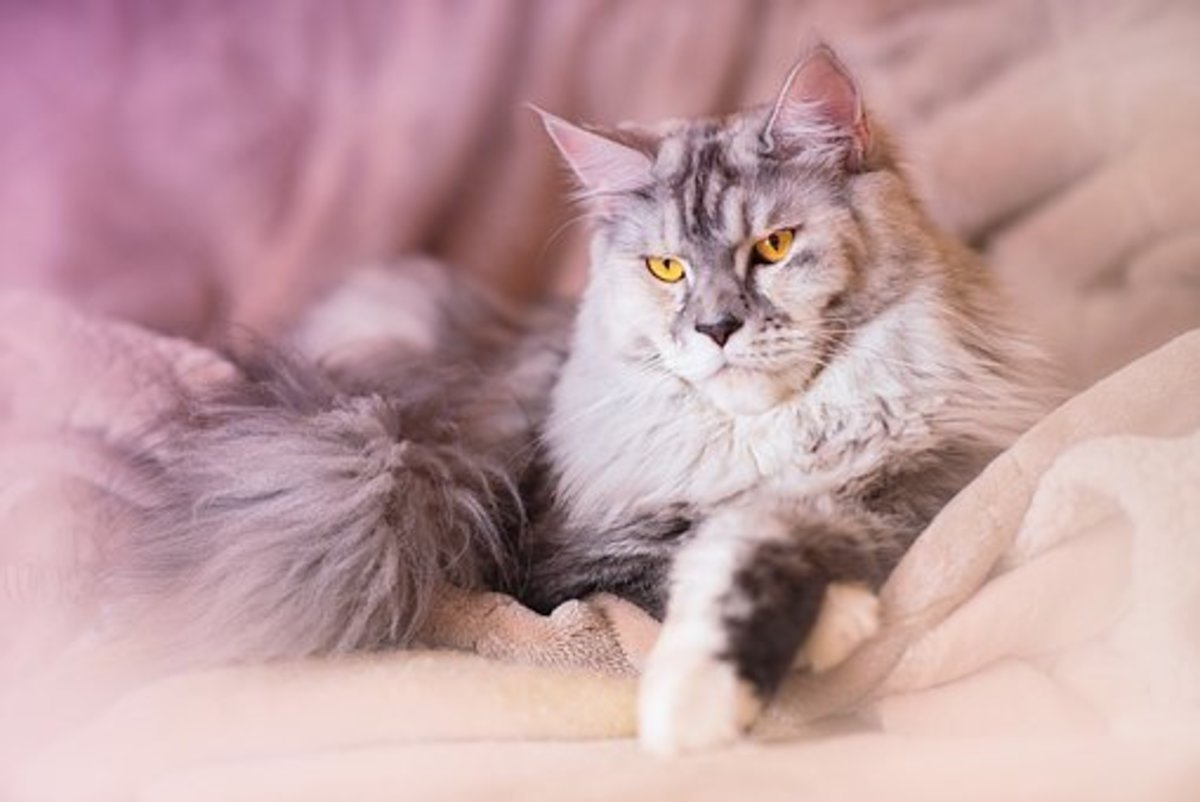 How to take care of Maine coon cat ?