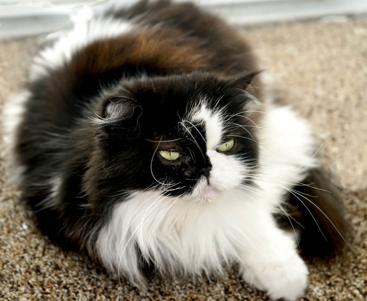 coat of Persian cat :