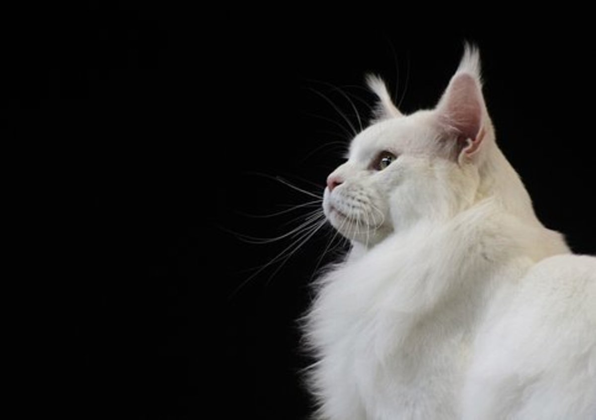 Character of Maine coon cat