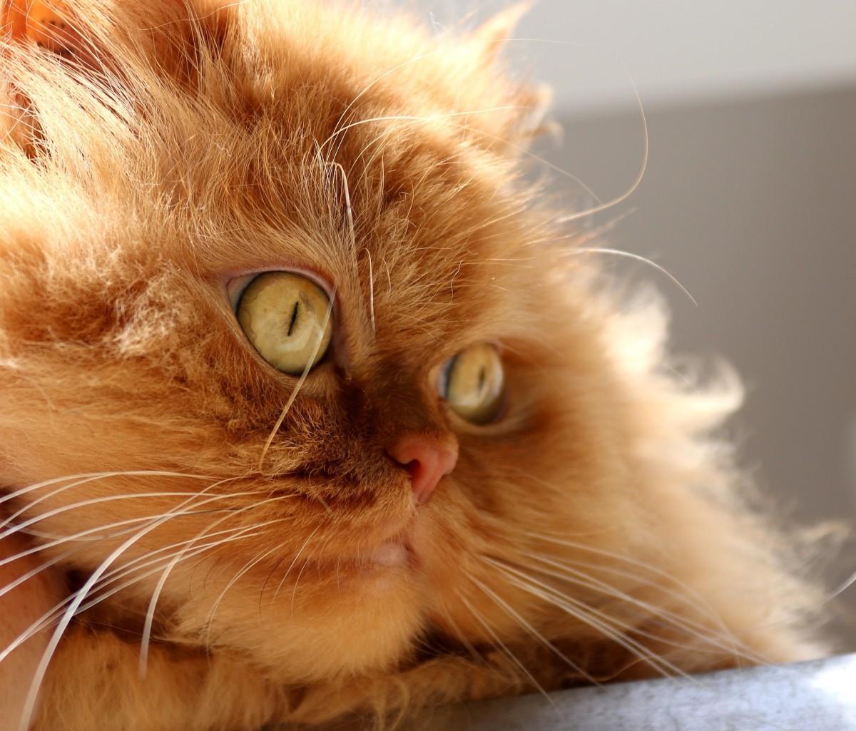 Persian cat eye colors