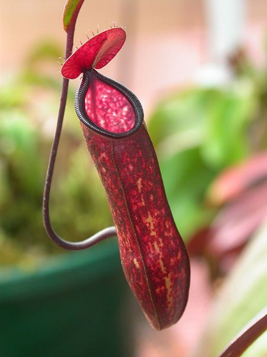 The Goblet of a Pitcher Plant