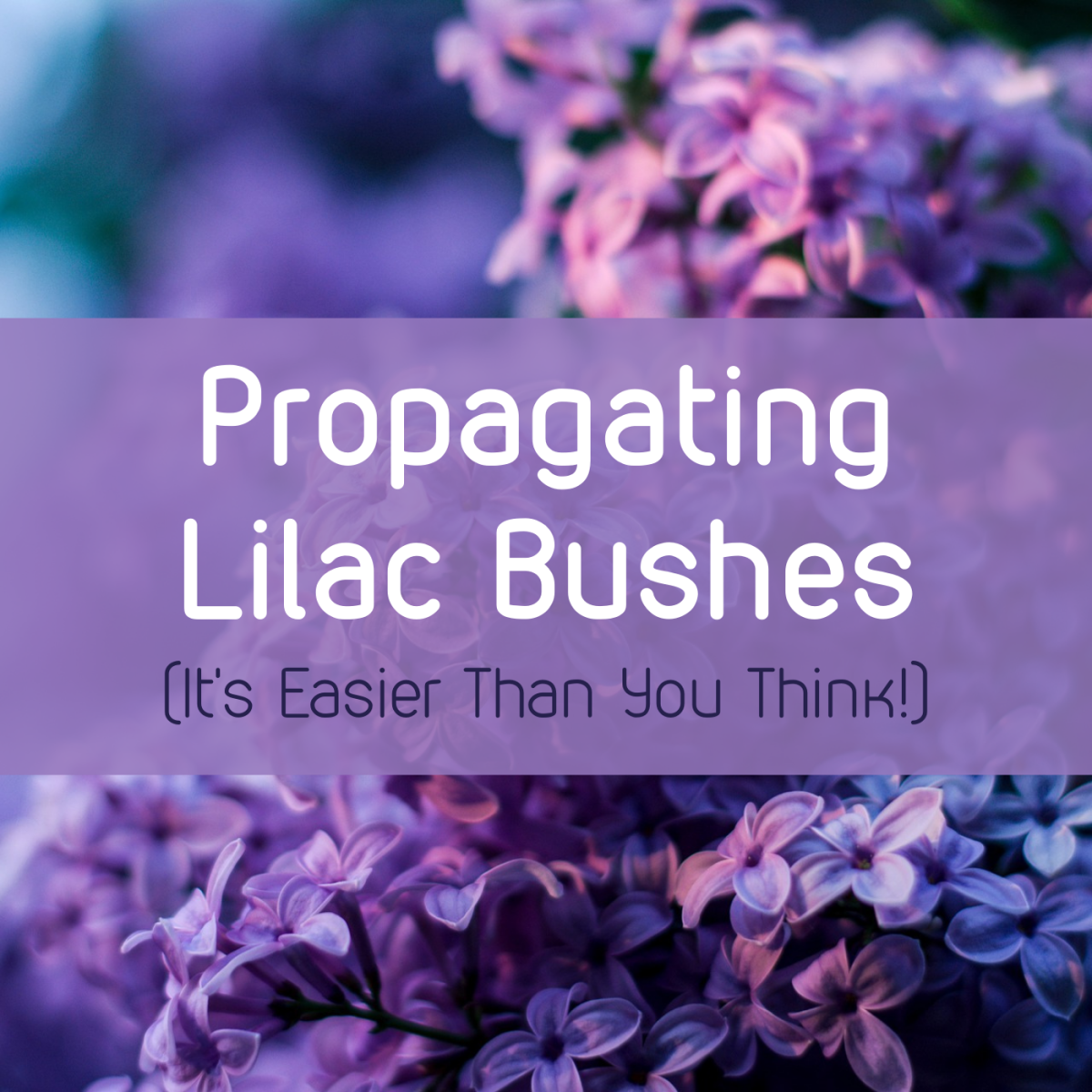 Learn how to propagate your lilac—the easy way!