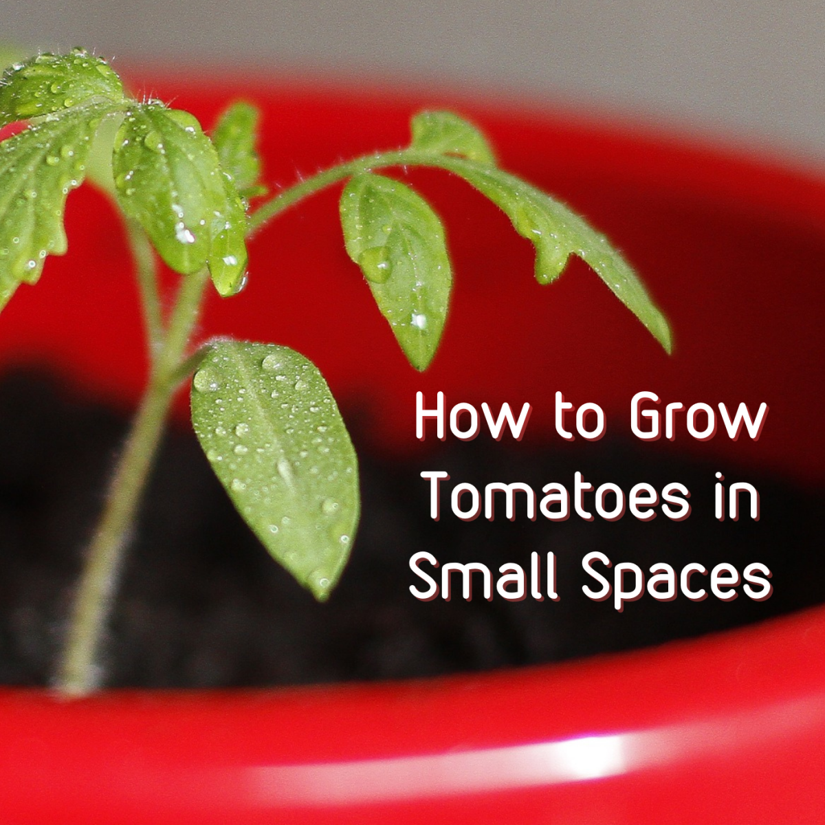 Not much room for a garden in your home? Even tomatoes can flourish in small spaces!