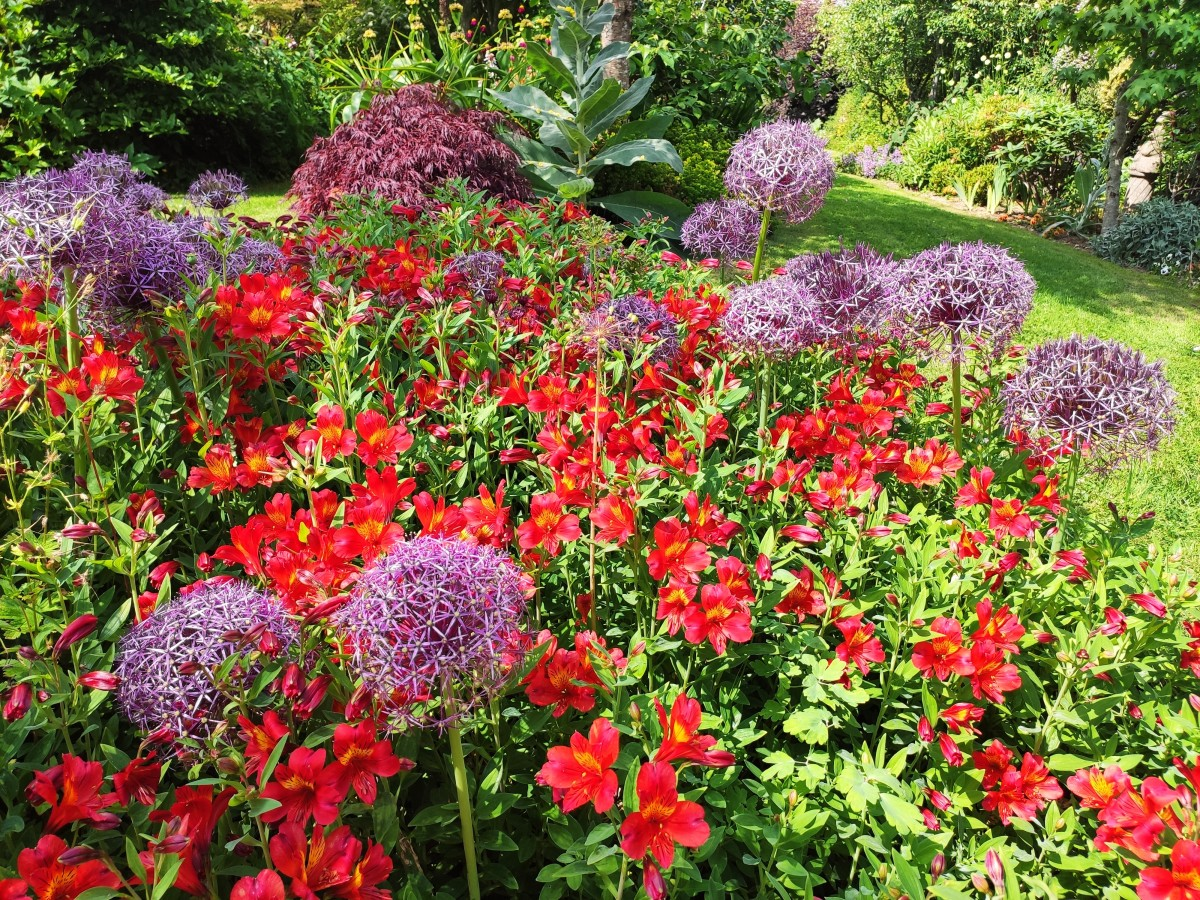 The striking Alstroemeria 'Oriana' can make an otherwise subdued garden pop.