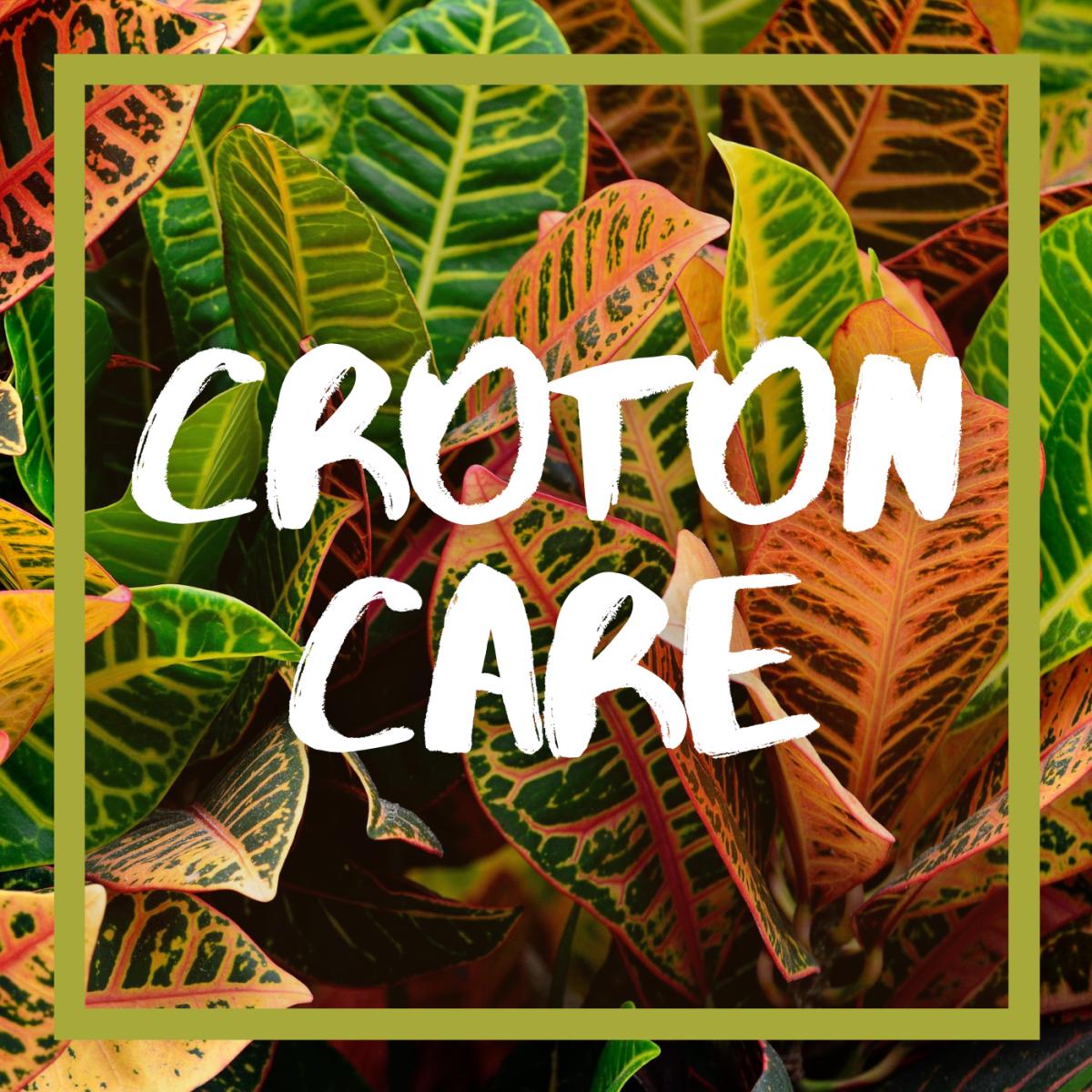 Croton houseplant care.