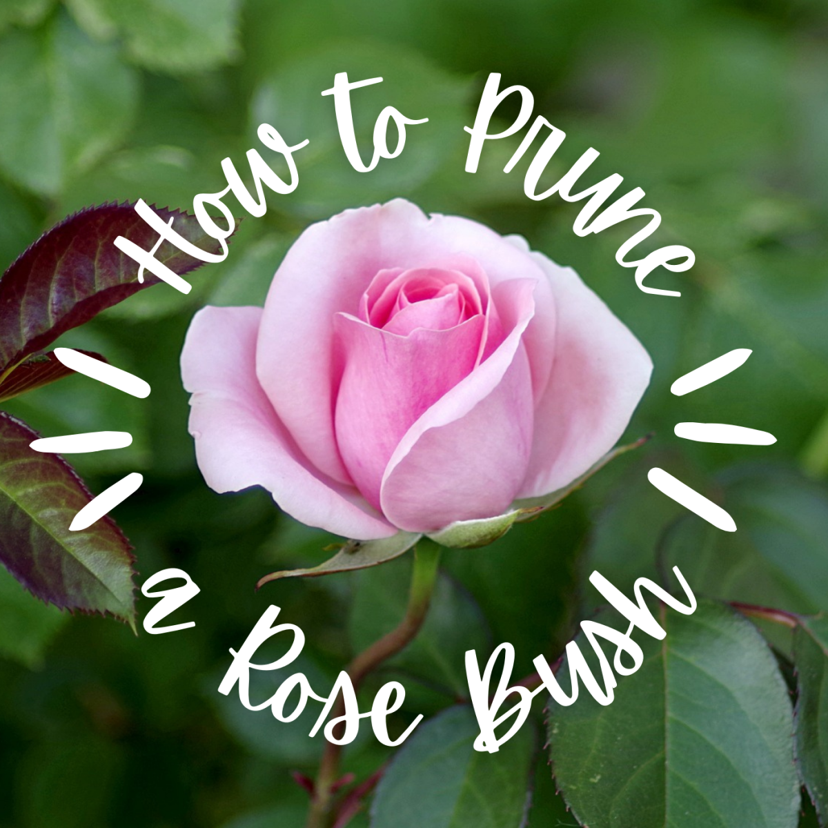 Learn when to give your rose bushes a trim and how to cut off dead branches.