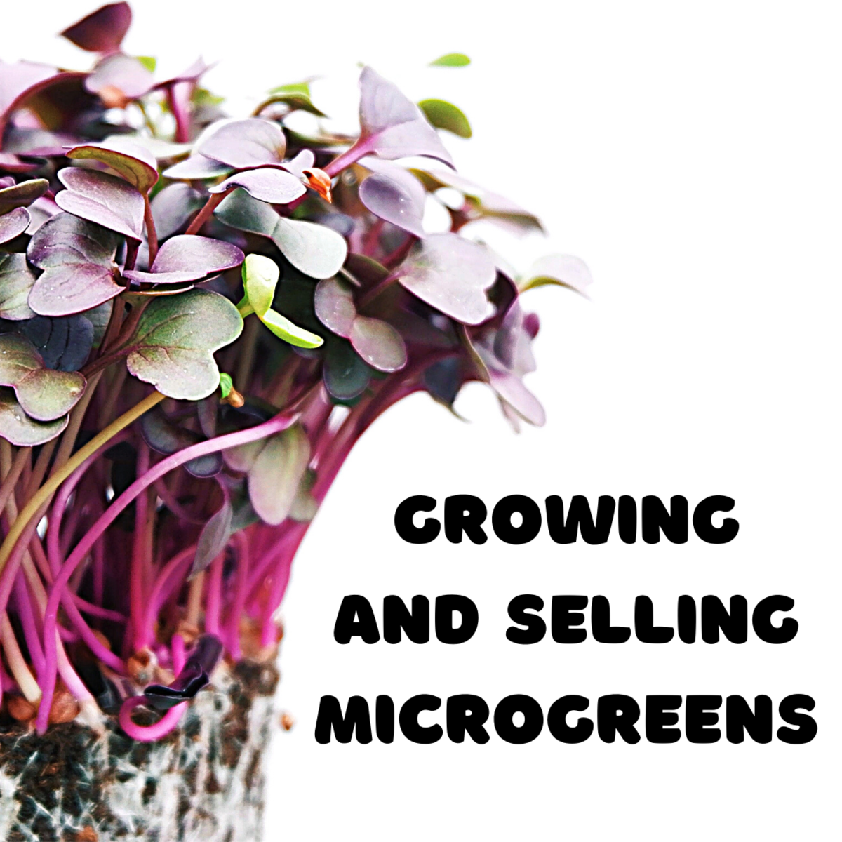 Learn about urban farming and growing microgreens in this article