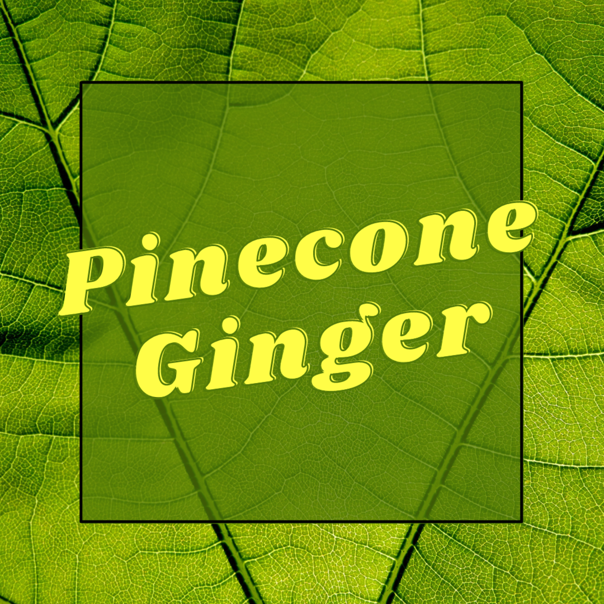 Learn some facts and uses of pinecone gnger