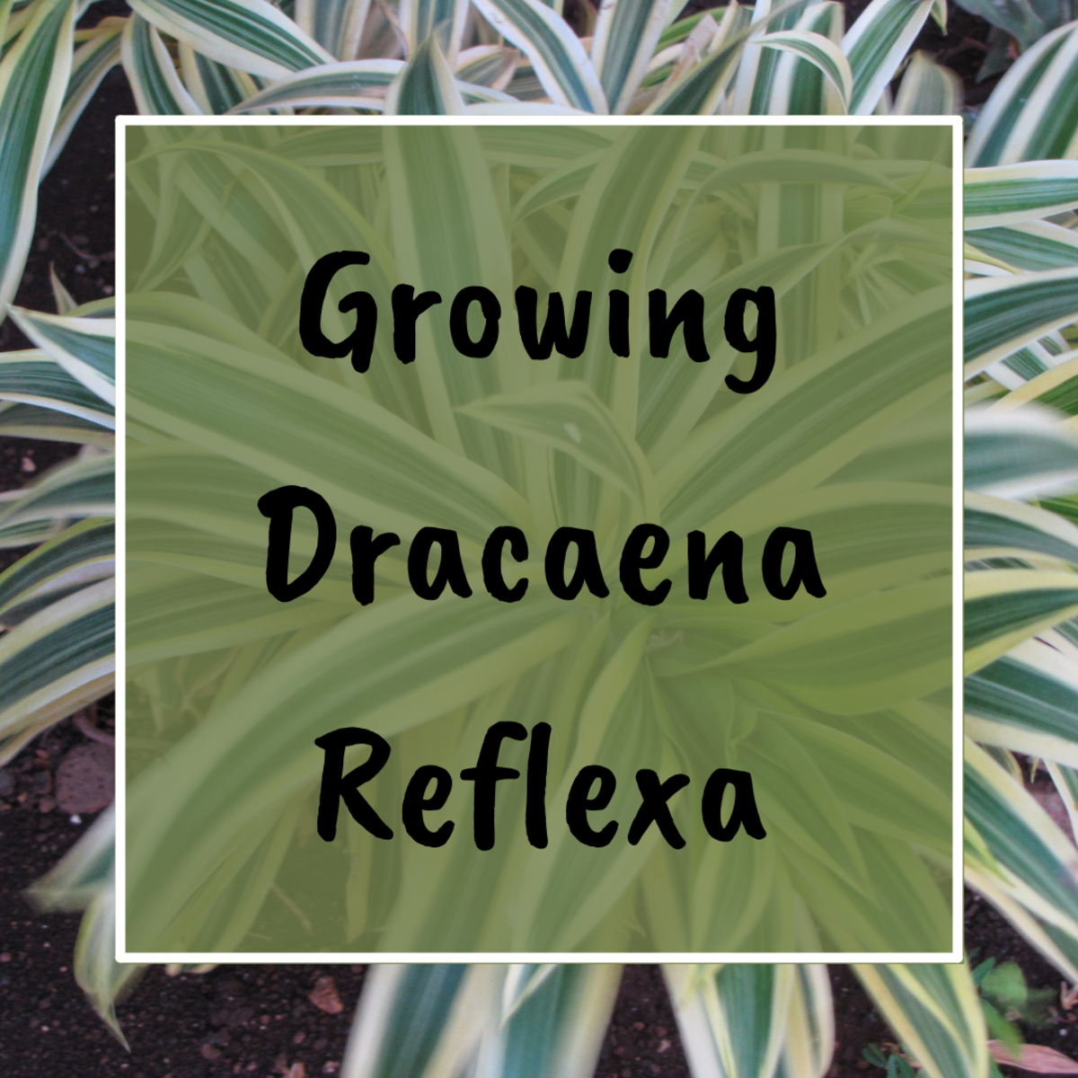 This article will teach you how to grow, care for, and maintain the Dracaena Reflexa plant, also known as the Song of Jamaica