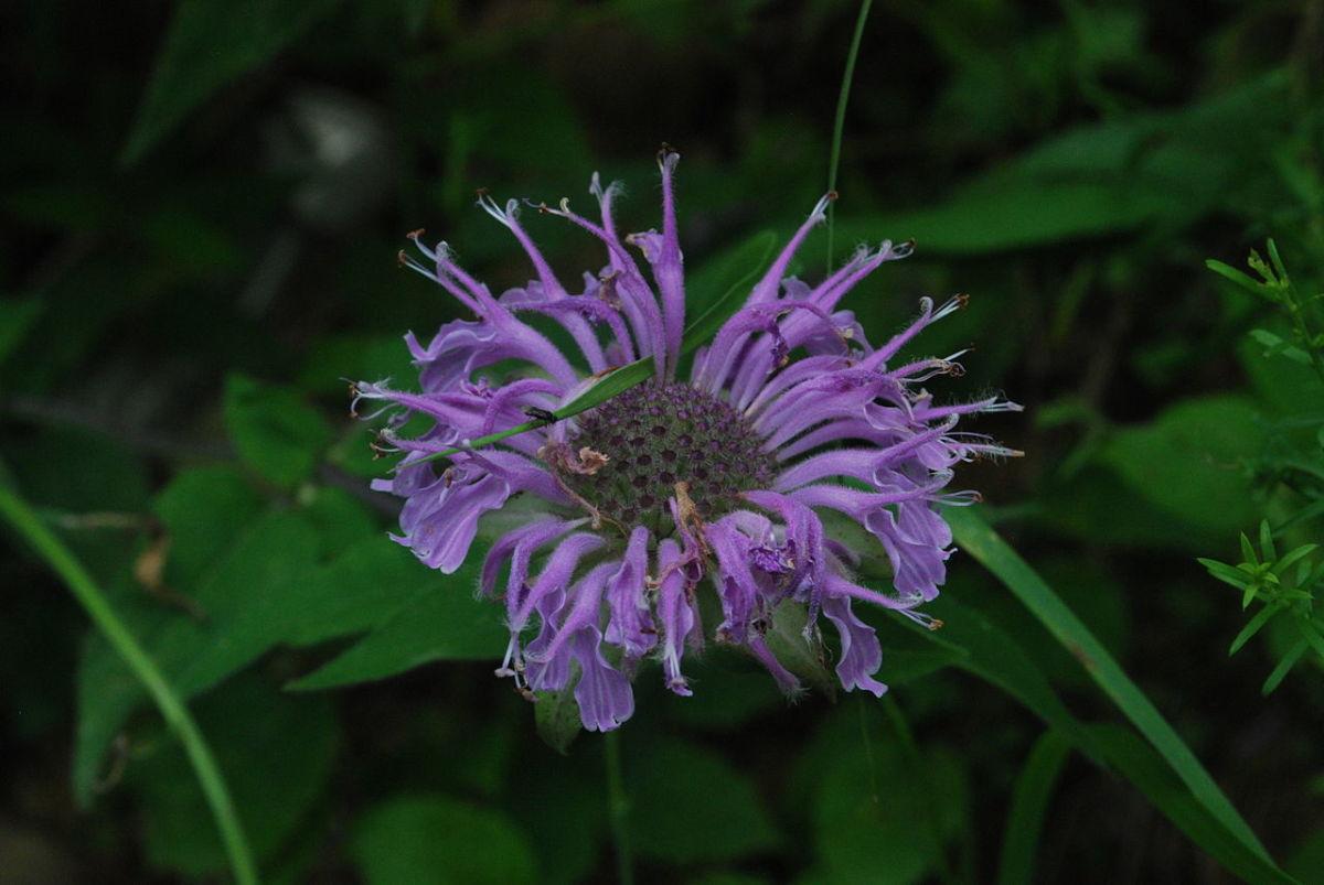 Monarda fistulosa, or wild bee balm, or Oswego tea