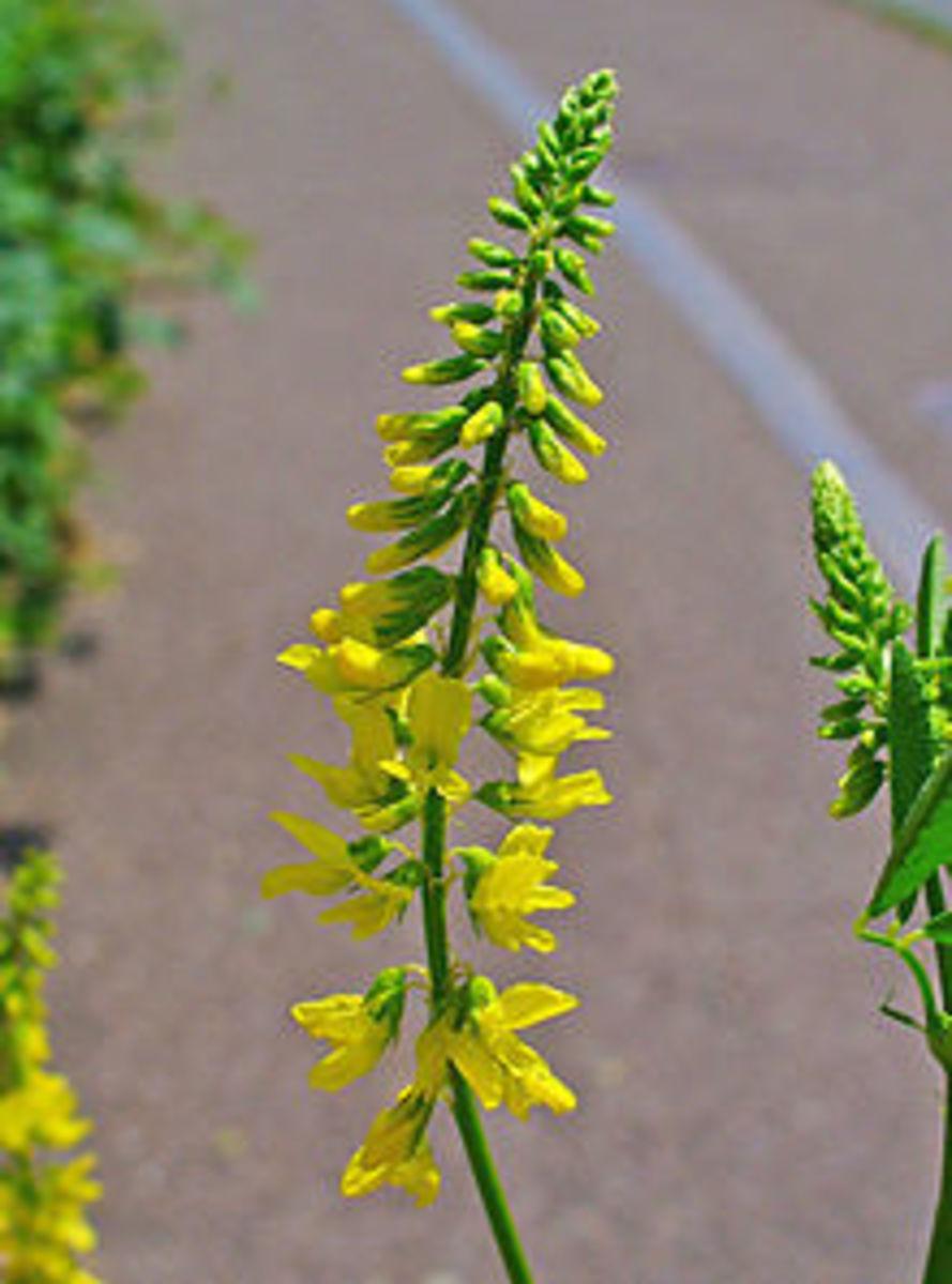 Yellow-flowered sweet clover