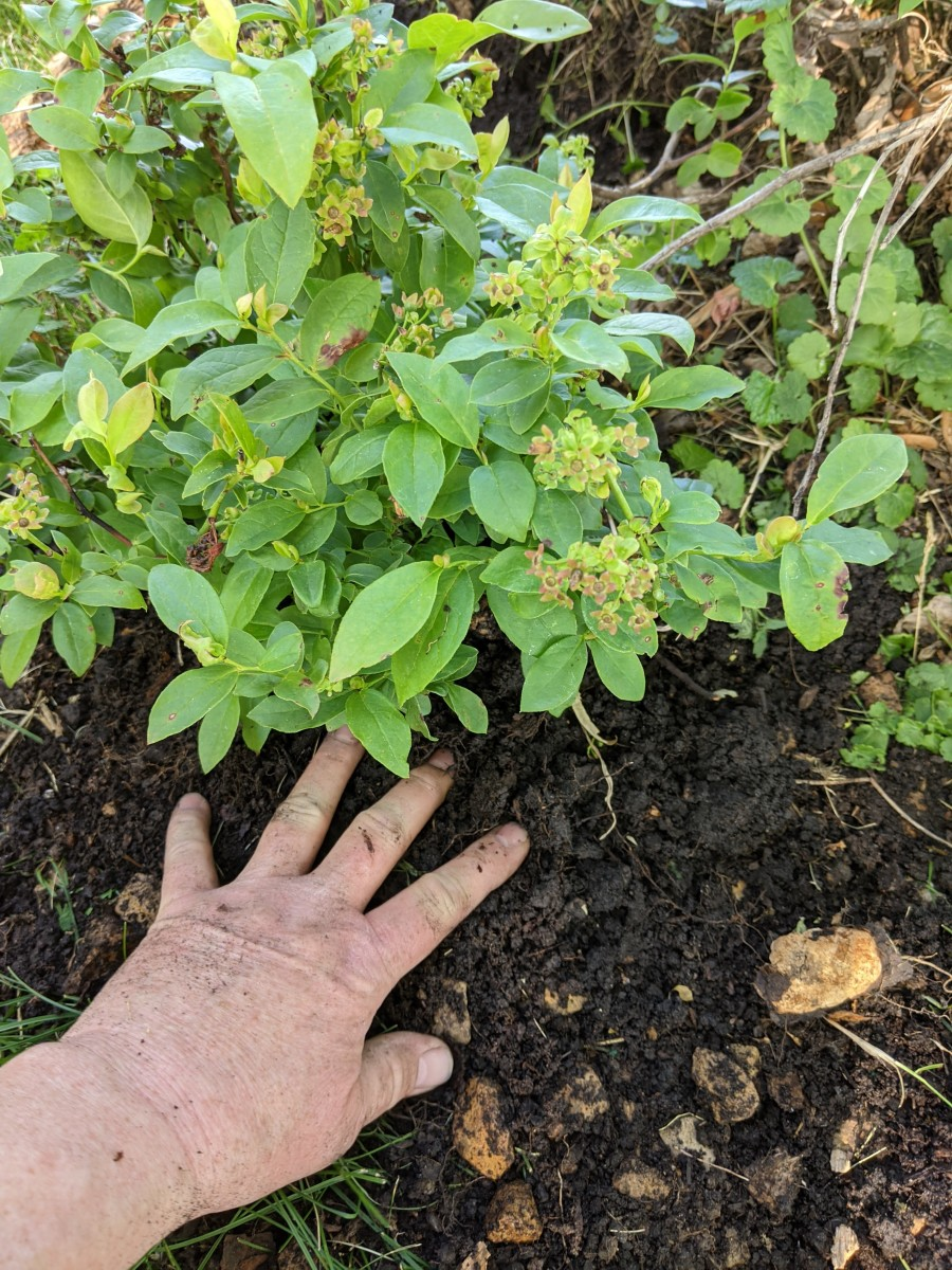 Place plant in hole, pull loose dirt around root ball.