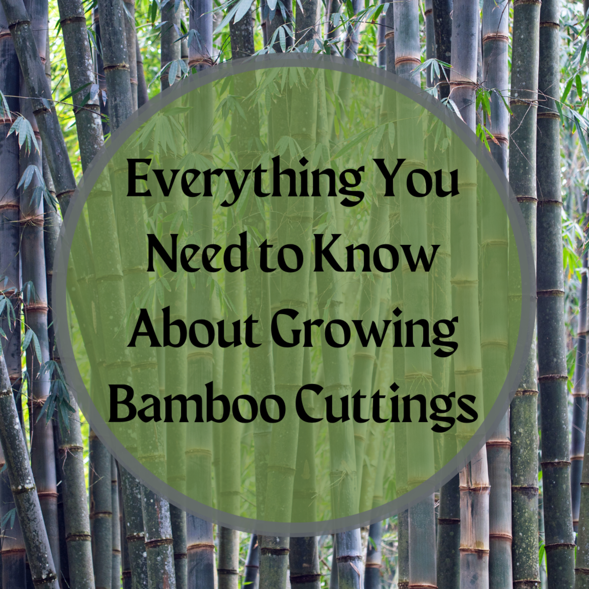 Learn three methods of bamboo cuttings: root mass divisions, rhizome cuttings, and culm burial. This article explains the tools and varying moisture and soil requirements for each method.