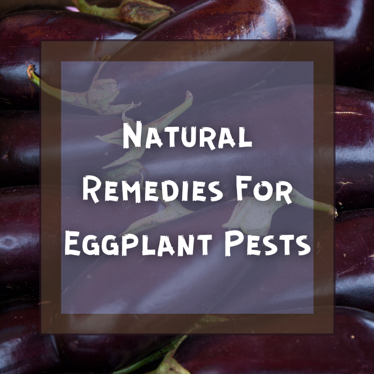 Identifying and Removing Eggplant Pests
