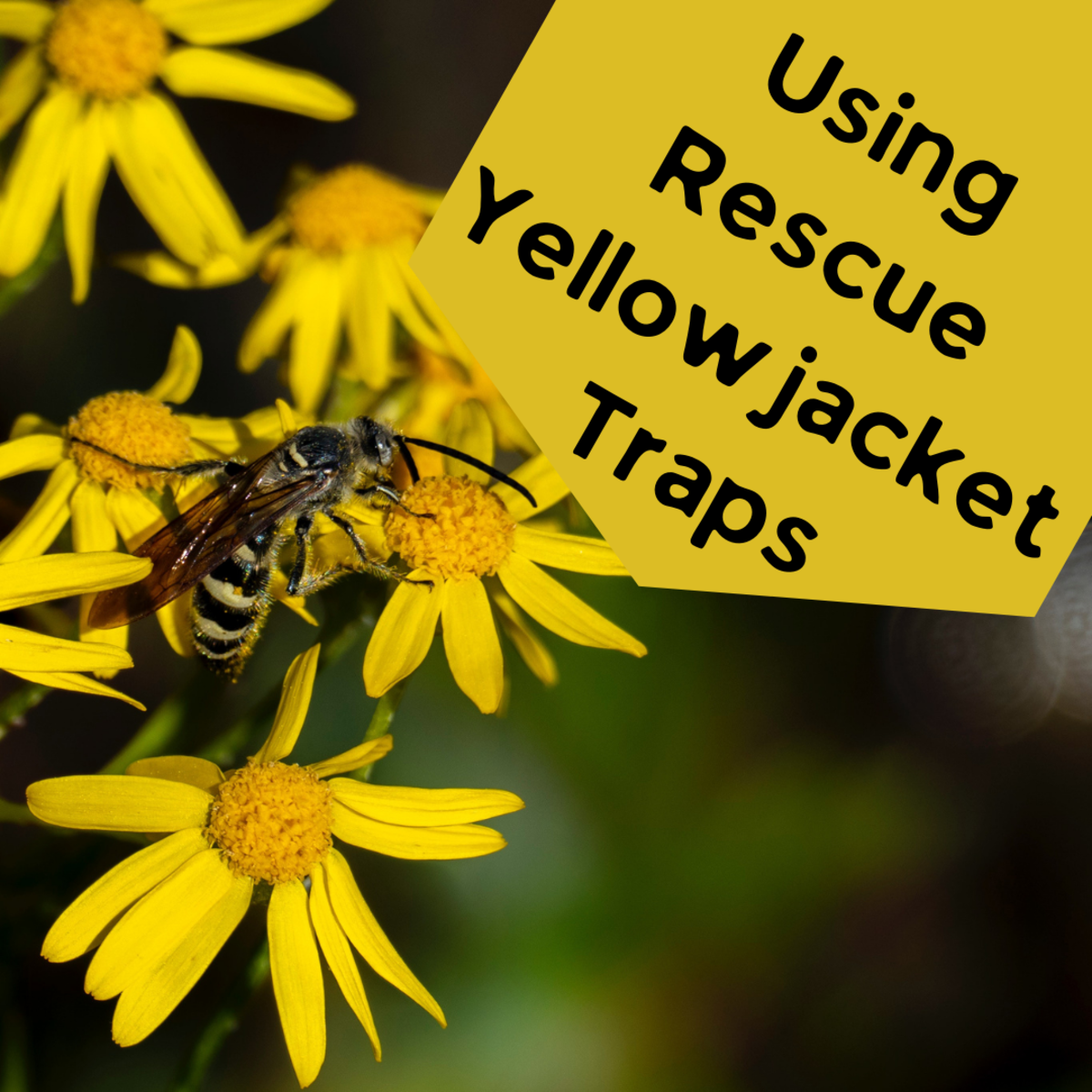 Learn how to get rid of your yellowjacket issue once and for all with Rescue Yellowjacket Traps
