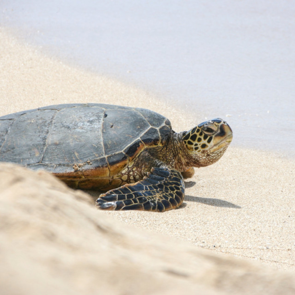 Even this poor turtle does not know how to talk to sand.