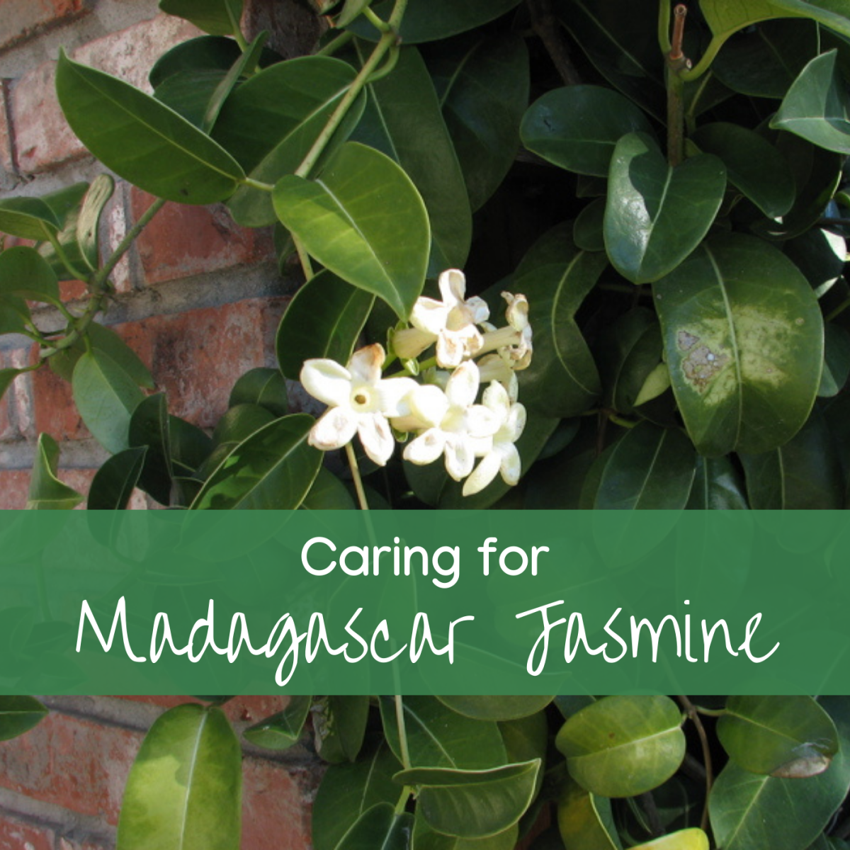 Madagascar Jasmine or wax flower is a heavily perfumed climber. The waxen flowers appear in groups or 'pips' along the stems.