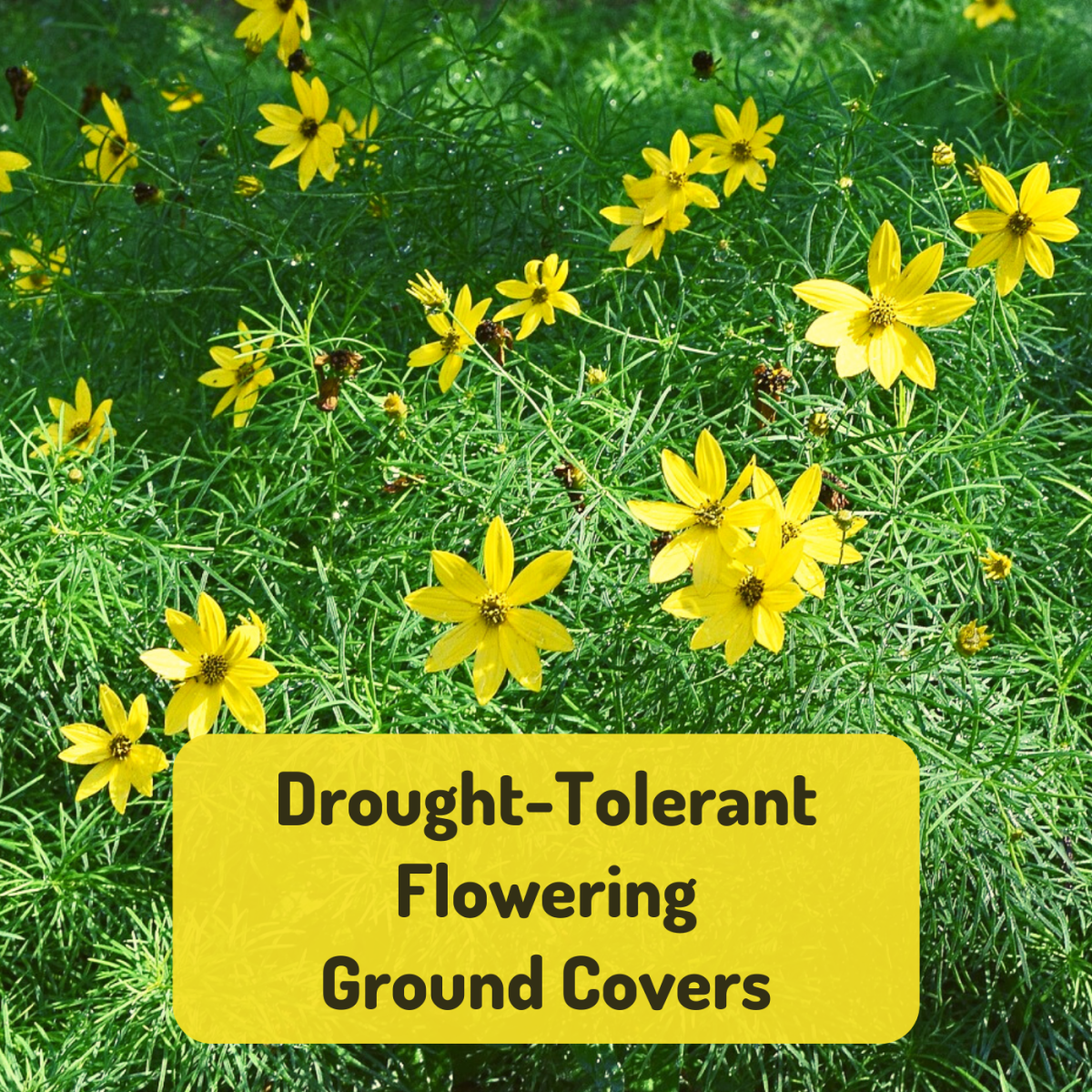 Need to cover some dry, poor soil in your yard? Try coreopsis or one of these other flowering ground covers!
