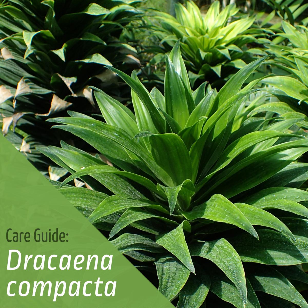 Learn how to grow a healthy Dracaena compacta.