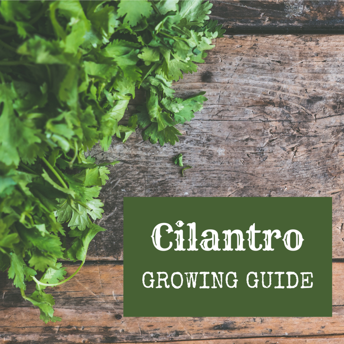 How to Grow Cilantro and Harvest Your Own Coriander Seeds