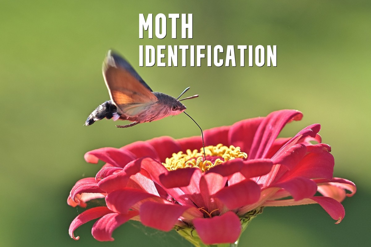 This guide will help you identify some of the coolest moths in North America.