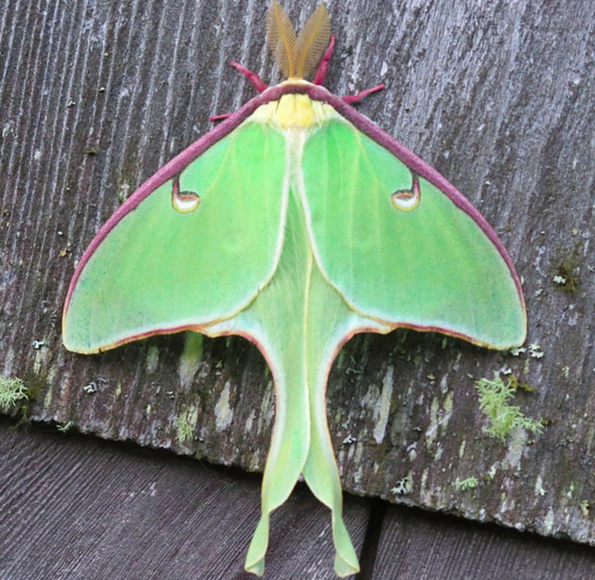 The spectacular luna moth, one of the species featured in this guide
