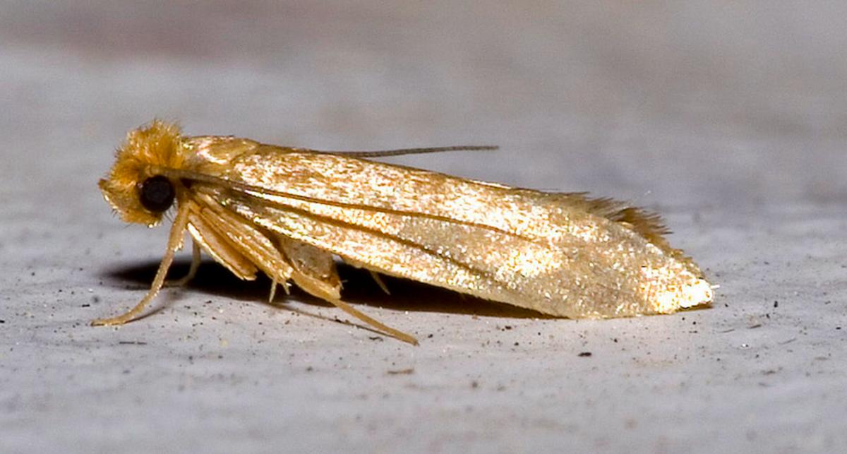 Close-up of a clothes moth
