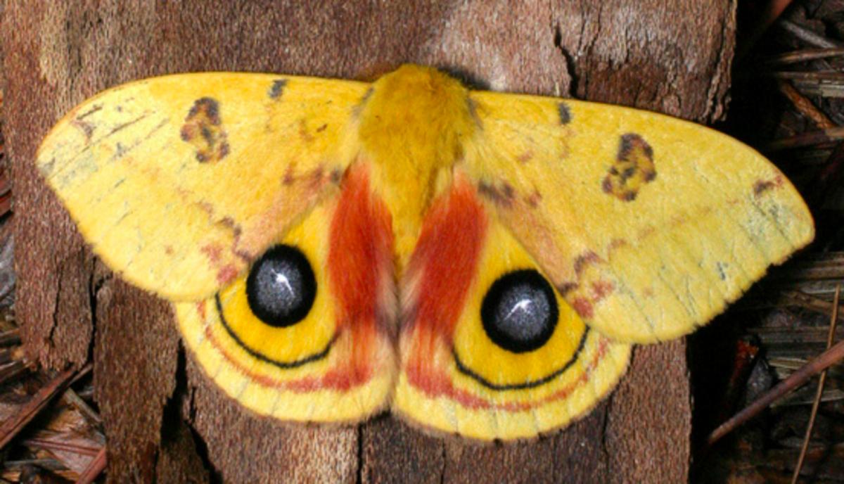 A beautiful female Io moth