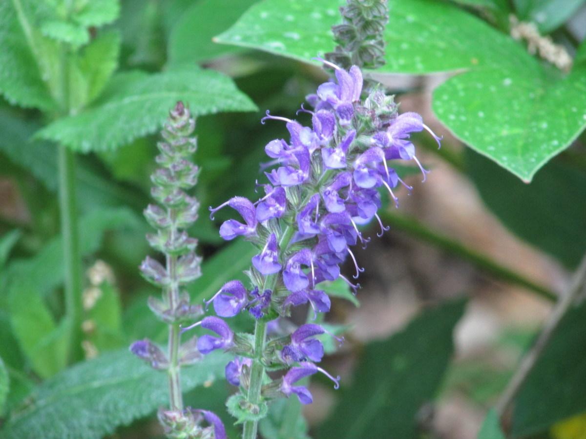 Blue Salvia.