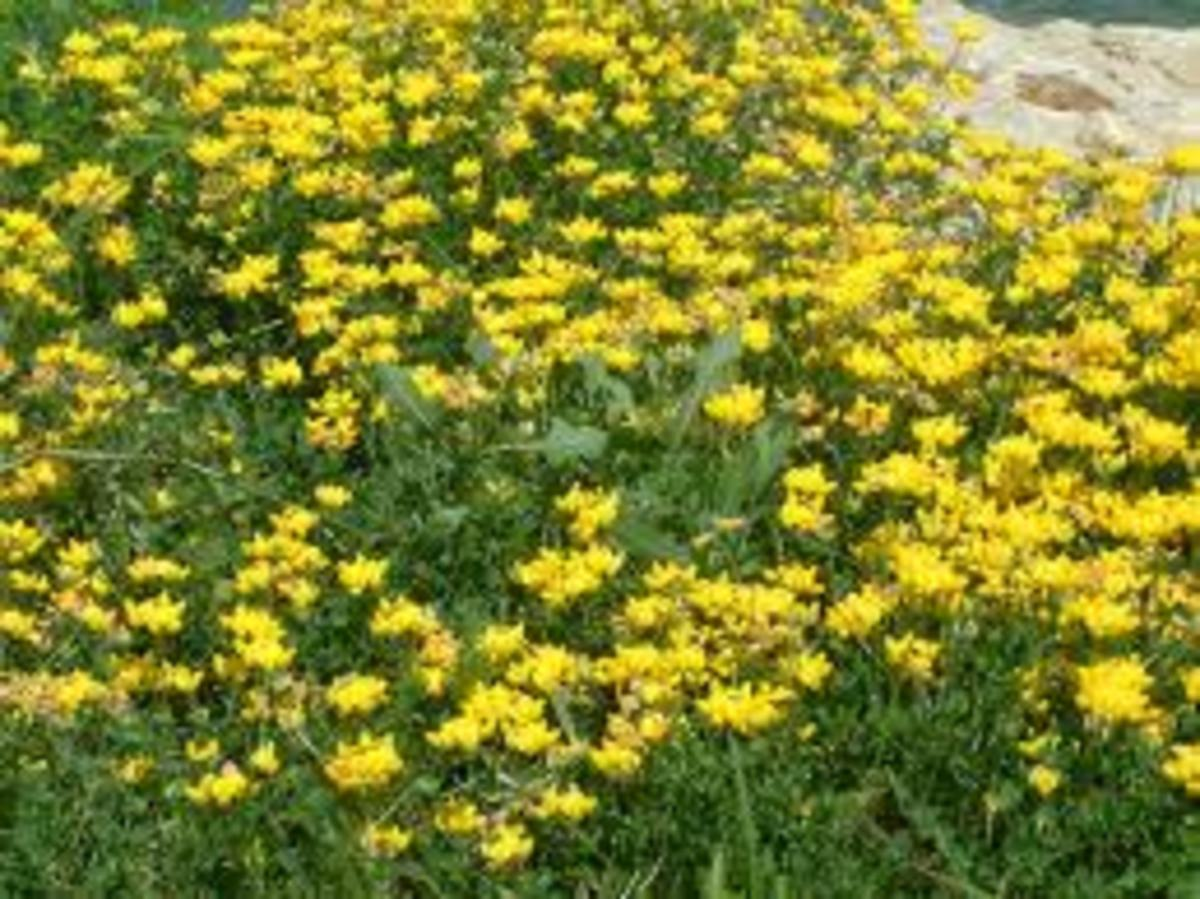 Birds Foot Trefoil produces nectar-rich tiny yellow flowers we used to call 'Dutchman's Britches'.  This plant fixes nitrogen in the soil, as do all clovers.