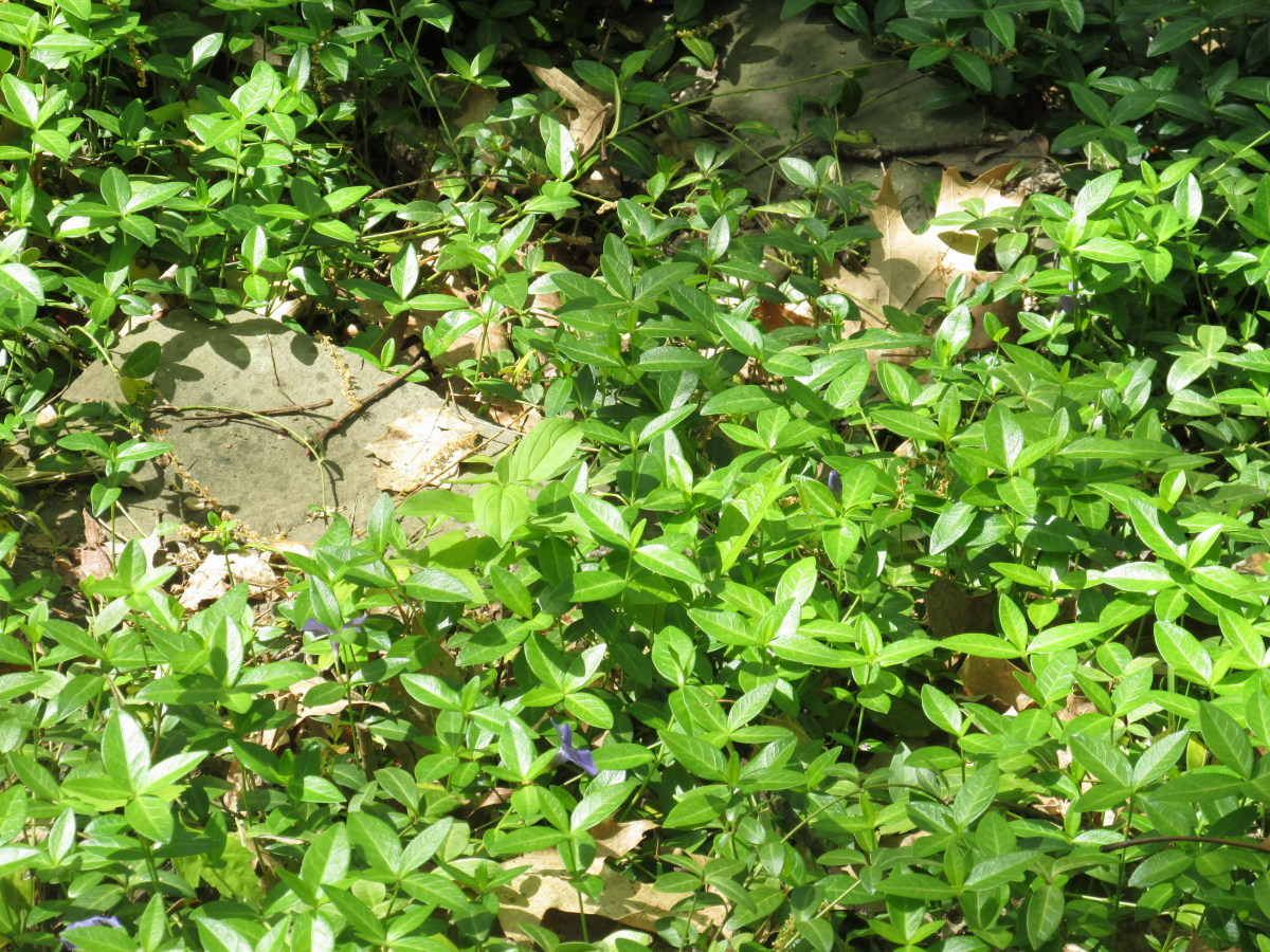 "Vinca has tiny blue flowers in the spring, and quickly covers any area.  Its height never exceeds 2"" to 21/2""."
