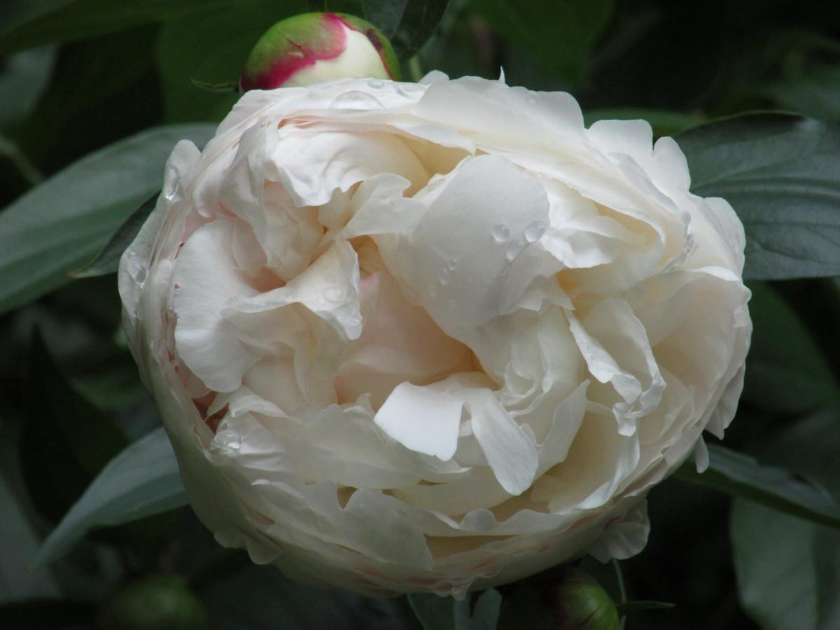 White Peony blossom.