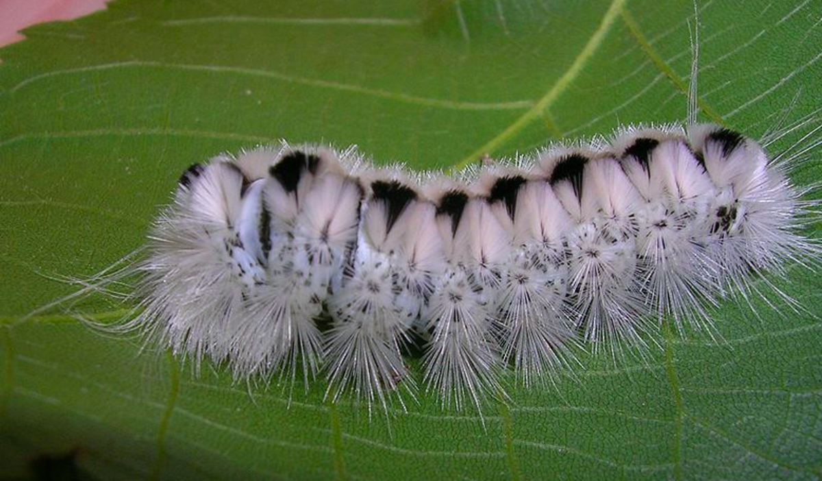 Caterpillar of the hickory tiger moth