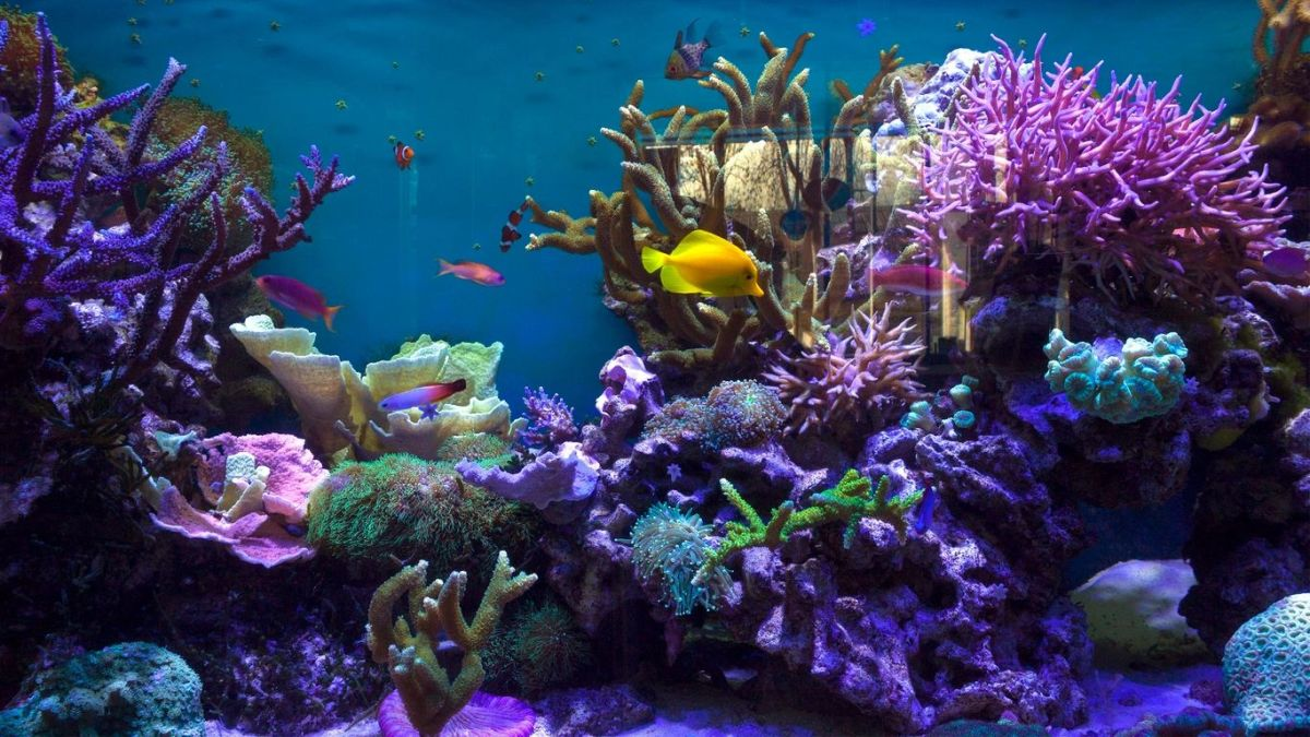 saltwater-aquarium-fish-how-to-care-for-bicolor-dottyback