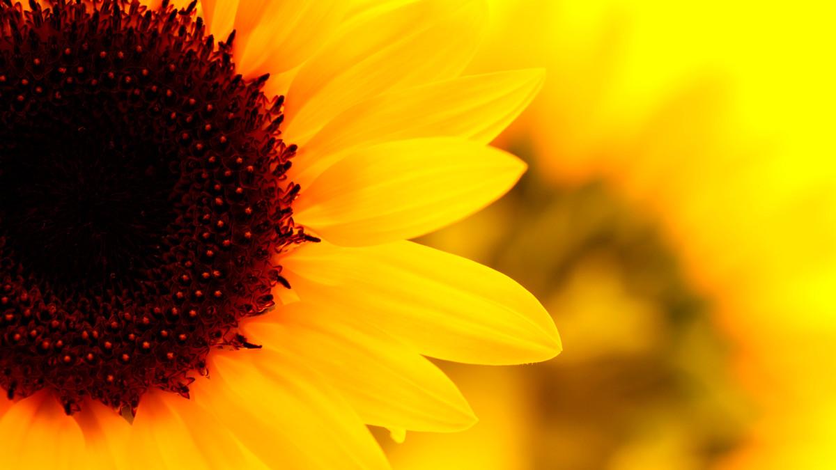 sunflowers-germinated-love