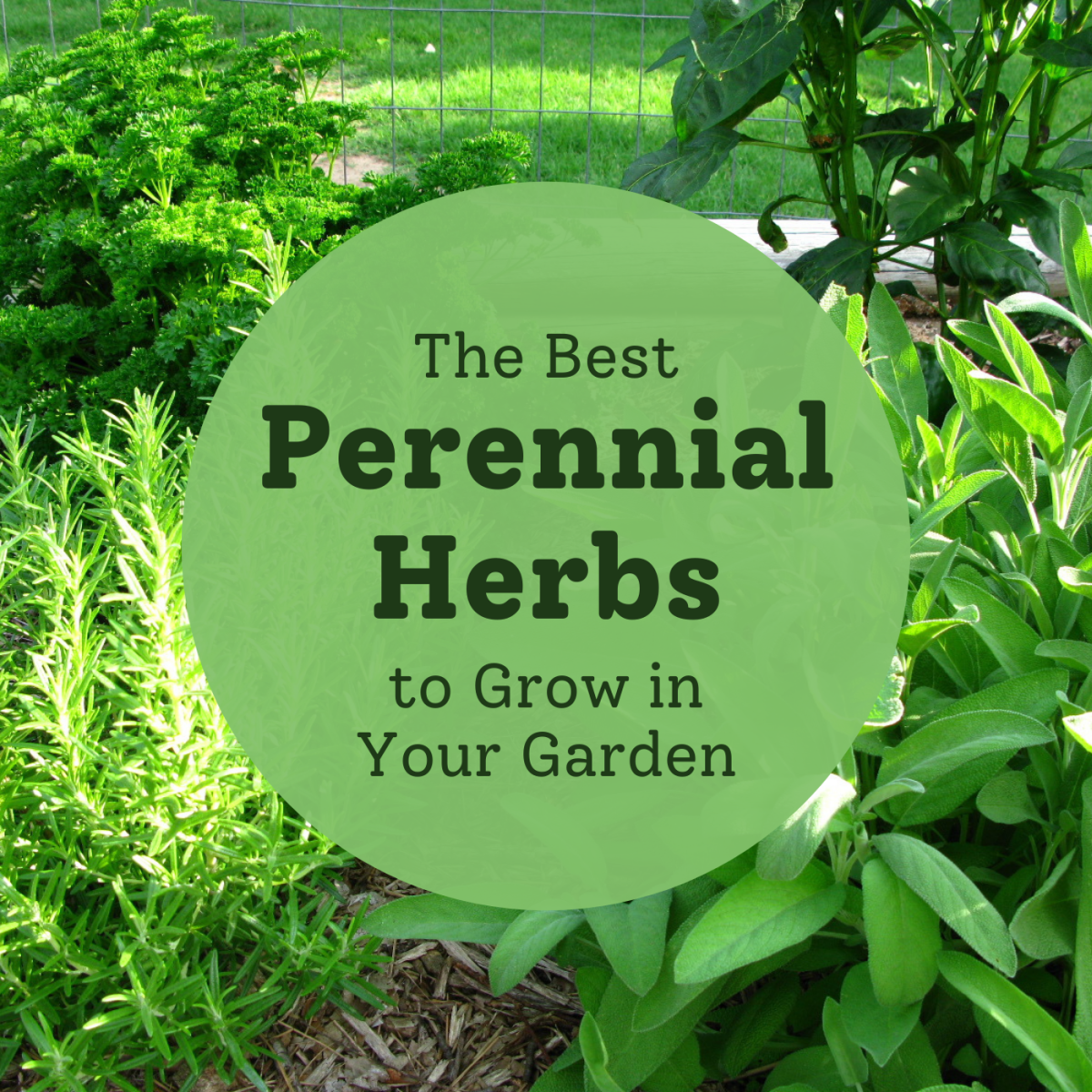 Discover some herbs that are easy to grow and will come back year after year.