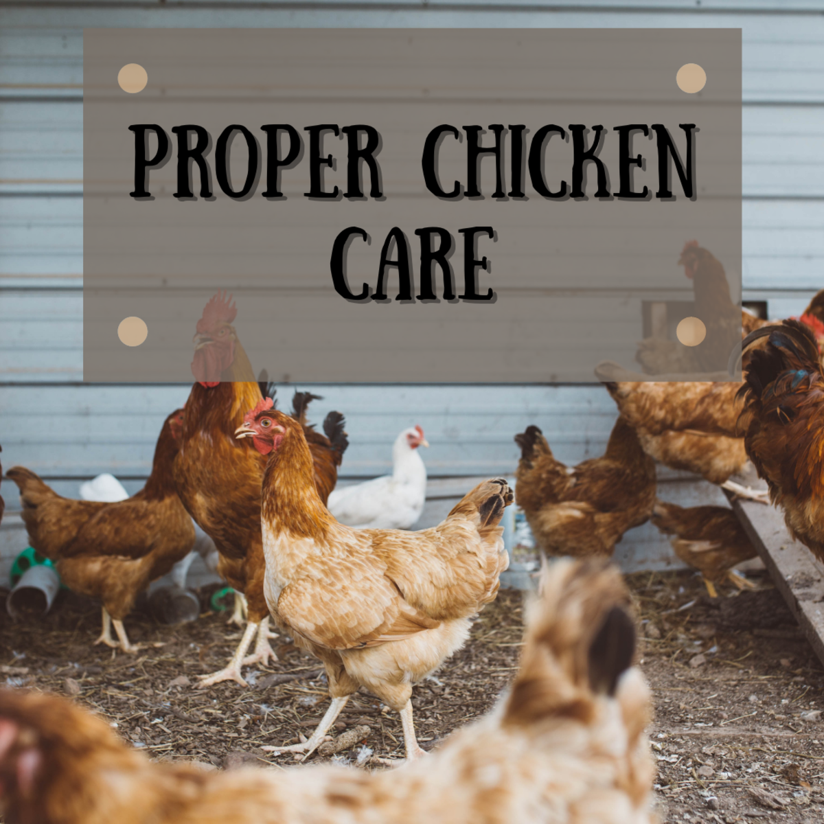 Learn how to care for chickens by building a safe chicken run and providing the correct plants for food and protection.