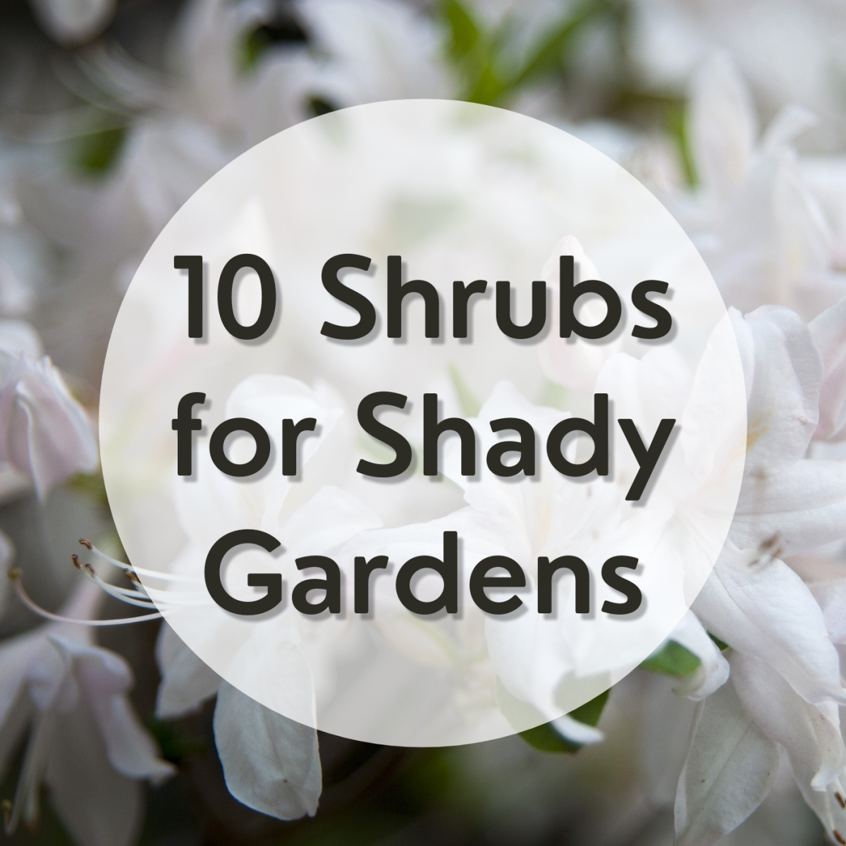 Finding a blooming shrub for a dappled, partial, or full shade spot is a challenge. Learn about 10 beautiful options for your shady garden.