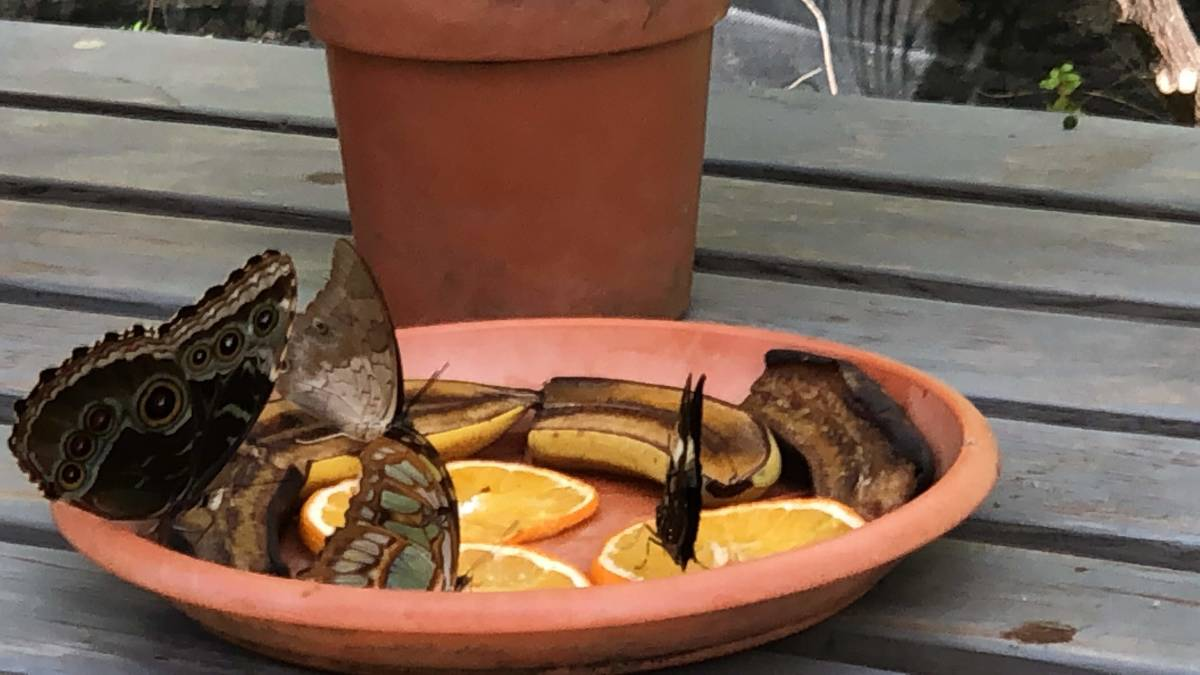 Mushy orange slices and overripe bananas are perfect snacks for butterflies.