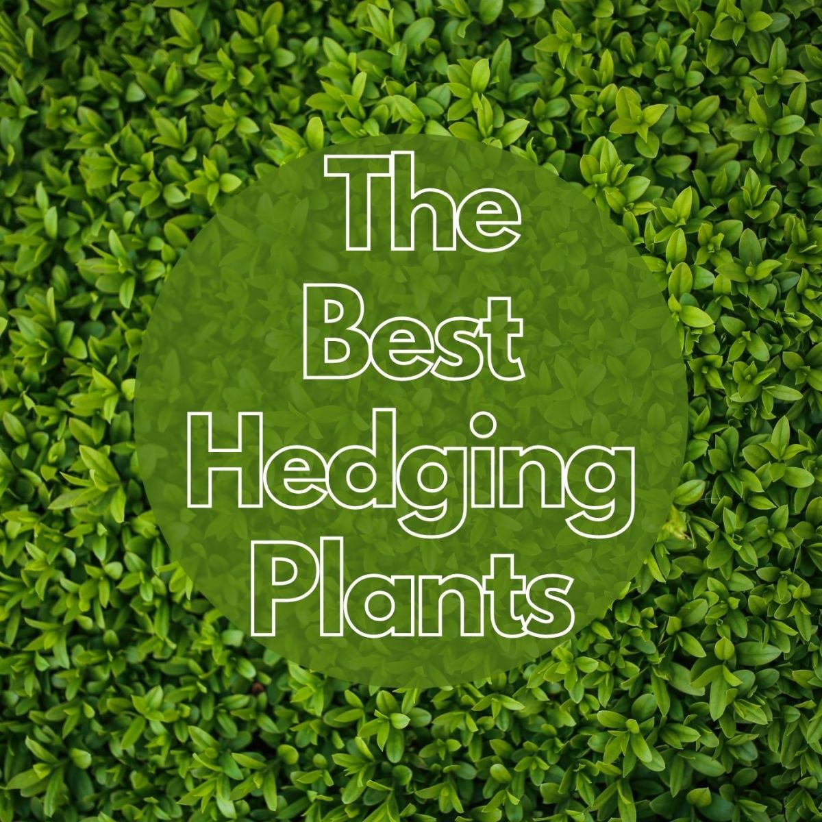 These hedge plants are amazing and provide great privacy.